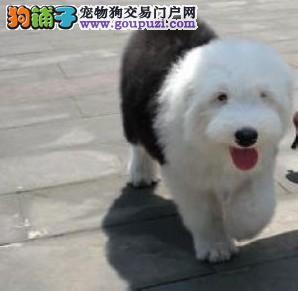 出售漂亮长毛纯种白头英国古代牧羊犬