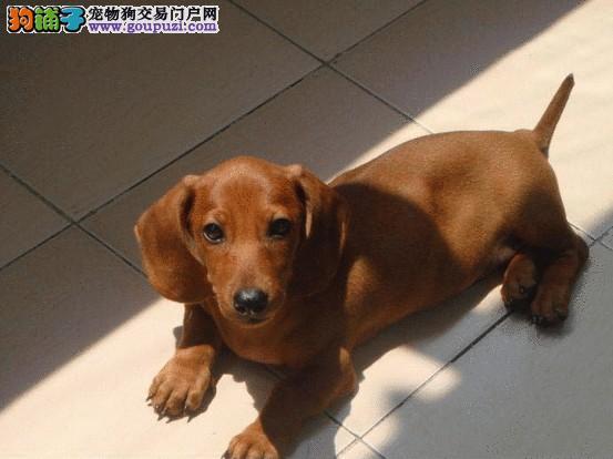 杭州哪里卖腊肠犬 腊肠多少钱 纯种腊肠哪里买