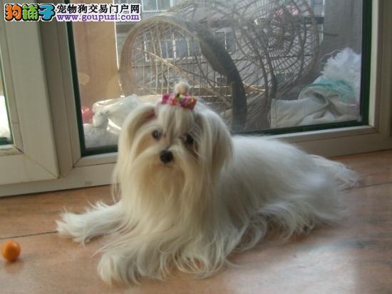 广元繁育精品马尔济斯犬 签订健康保障合同 三重联保