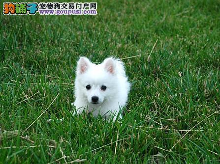 精品纯种三亚银狐犬出售质量三包国际血统认证