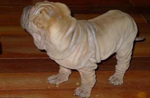 出售极品沙皮狗幼犬完美品相终身售后协议