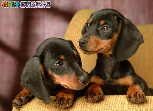 重庆高品质标准小短腿 大耳朵 机灵可爱腊肠犬幼犬出售