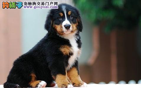 纯种伯恩山幼犬 保证血统纯度 质保健康90天