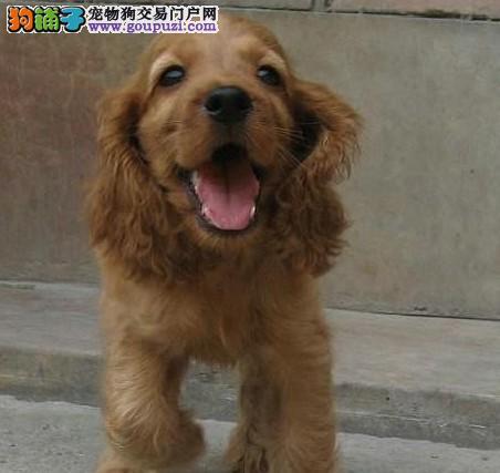 CKU认证犬舍 专业出售极品 可卡幼犬签订终身纯种健康协议