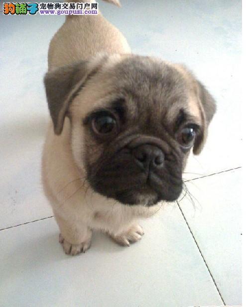 赤峰纯种褶皮脸巴哥犬出售铁包金巴哥宝宝虎头虎脑健康