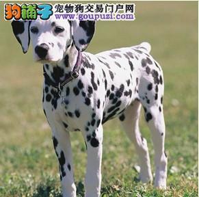 大同纯种健康的大麦町斑点幼犬出售