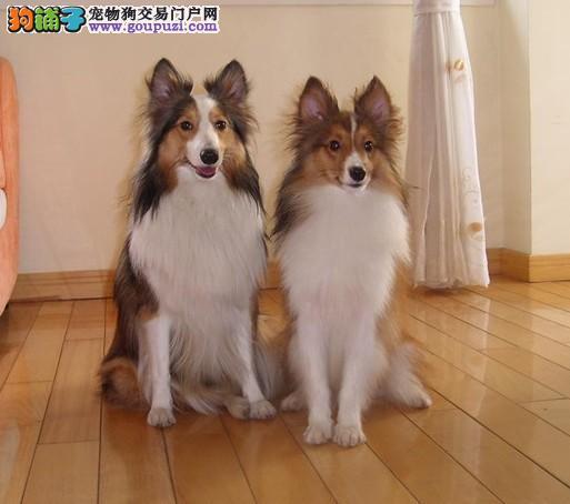 杭州纯种快乐喜乐蒂狗狗找新家1