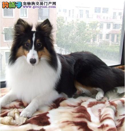 广州总狗场直销纯种喜乐蒂犬,纯种苏格兰喜乐蒂幼犬