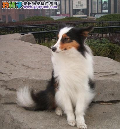 怀化喜乐蒂幼犬赛级出售 纯种喜乐蒂牧羊犬健康保障