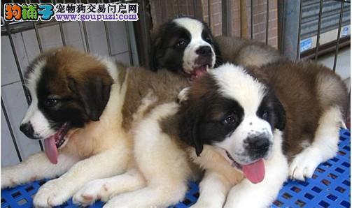 买纯种圣伯纳 高大威猛纯种圣伯纳幼犬 纯种健康