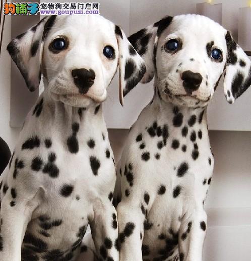 自家繁殖的可爱斑点狗狗 保证健康 保证血统