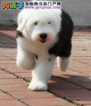 古代牧羊犬价格白头通背四脚踏雪幼犬待售签合同保健康1