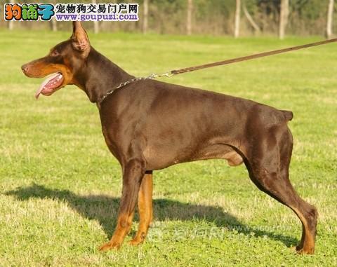 石家庄自家繁殖杜宾犬出售公母都有CKU认证绝对信誉保障