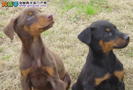 国际注册犬舍 出售极品赛级杜宾犬幼犬喜欢微信咨询