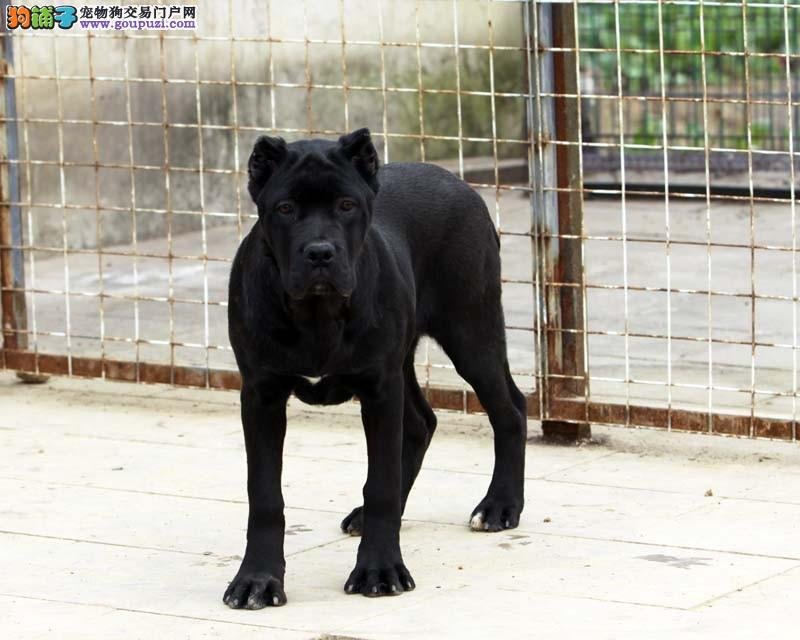 嘉兴高级护卫犬卡斯罗 保纯种保健康2