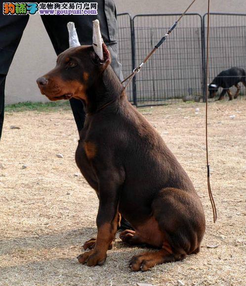 极品杜宾犬出售、CKU认证血统纯正、三年质保协议