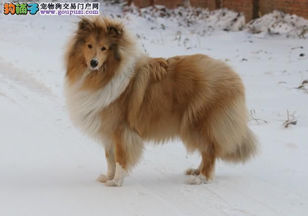 湘潭出售苏格兰牧羊犬 性格忠实活泼、疫苗做好3