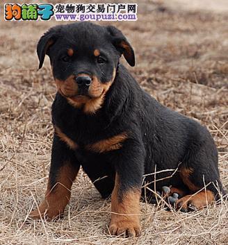 成都出售高端别墅防暴护卫犬罗威纳犬尊贵血统支持送狗