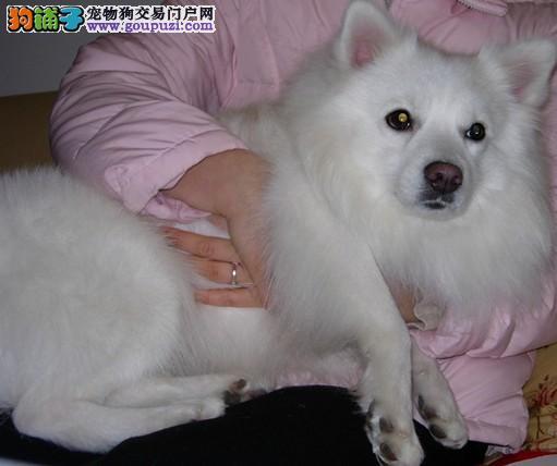 生活小百科 银狐犬不能食用生肉的原因有哪些
