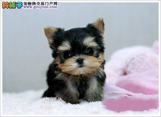 热销约克夏幼犬,一宠一证视频挑选,质保健康90天