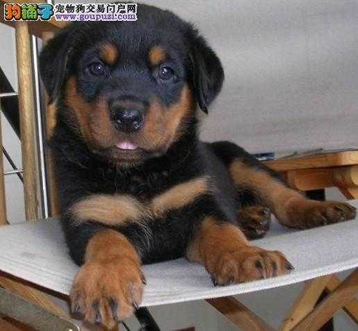 南京哪里出售罗威纳犬 罗威纳犬价格多少钱1