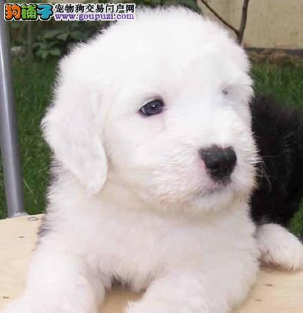 犬舍直销纯种古牧幼犬健康保证