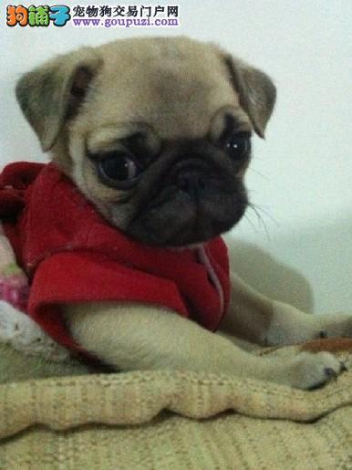 纯种巴哥犬幼犬 公母都有保证纯种