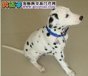 曲靖出售斑点狗幼犬品质好有保障送用品送狗粮
