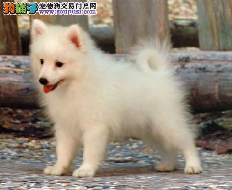 出售纯种健康的银狐犬幼犬喜欢微信咨询
