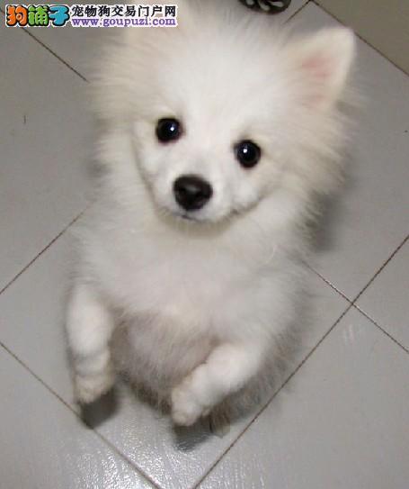 上海纯种尖嘴银狐犬活泼可爱血统包健康