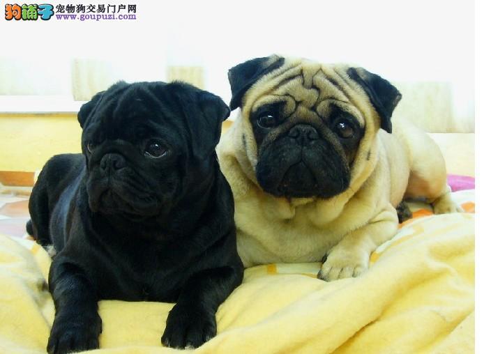 自家繁殖的纯种巴哥犬找主人上门可见父母