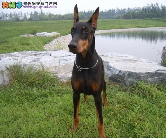 青岛自家繁殖杜宾犬出售公母都有三针疫苗齐全