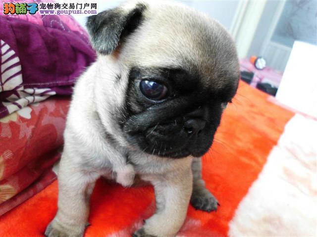 长沙家养巴哥犬宝宝可上门看 接受任何宠物医院检查