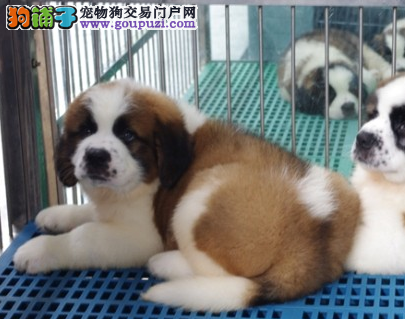 出售高大的漂亮的圣伯纳幼犬 品质绝对好需预定