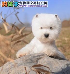 杭州市出售西高地宝宝 疫苗齐全 可视频看狗 签协议
