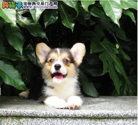 东莞最大狗场出售纯种 柯基犬 签订协议包活送用品