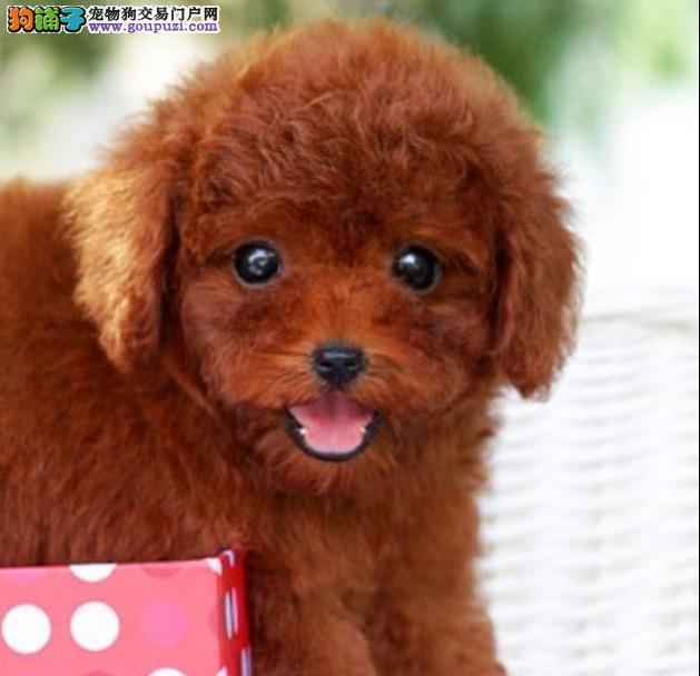 上海养殖场出售纯种泰迪犬 茶杯犬泰迪熊幼犬健康活泼