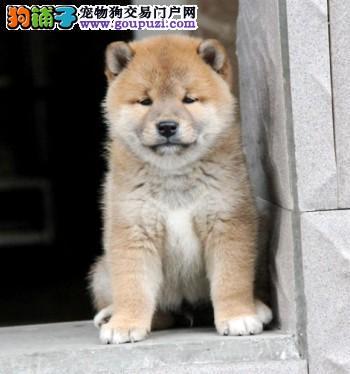 北京纯种日系柴犬赛级柴犬黑色柴犬狗场直销签署协议