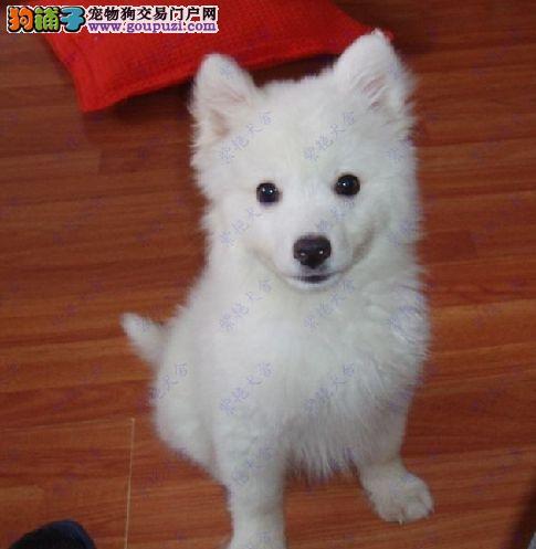 出售优质银狐幼犬需要的联系哦2