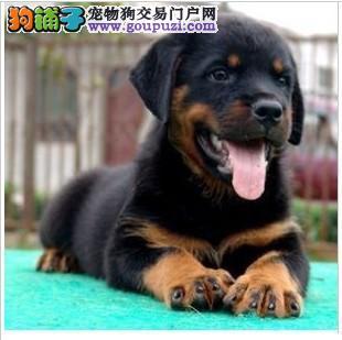 北京专业繁殖纯种德系宽嘴大骨架罗威纳防暴犬护卫猛犬