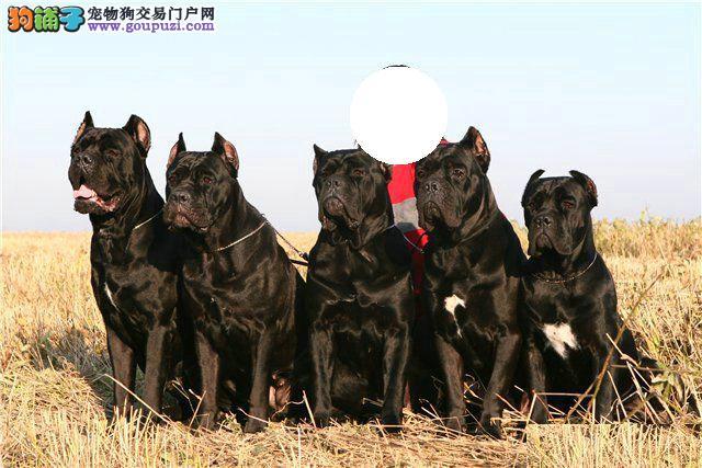 猛犬俱乐部顶级卡斯罗幼犬出售
