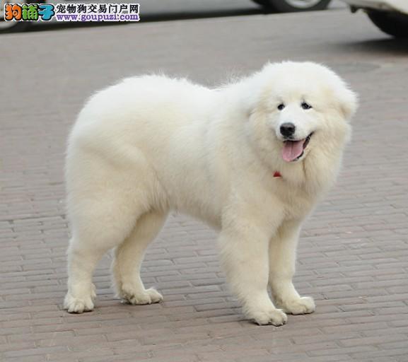 CKU认证纯种大白熊幼犬出售保健康1
