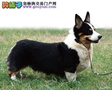 出售柯基幼犬 纯种健康 品质终身质保