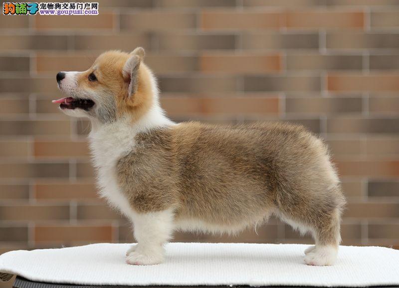狗场直销出售纯种双色三色柯基犬包健康签协议包售后