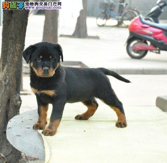 自家繁殖的纯种德系罗威纳幼犬出售