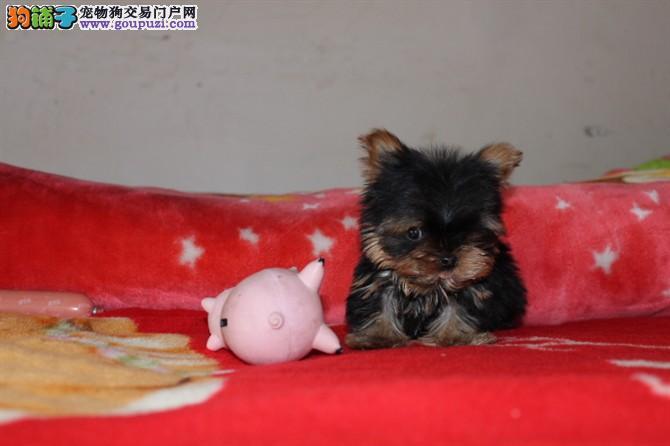 约克夏CKU犬舍 实物拍摄终身质保签属协议南京出售