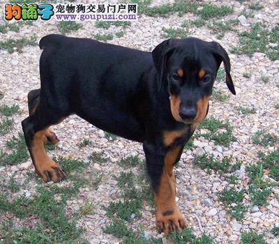 高端杜宾犬幼犬,纯度第一价位最低,签协议可送货