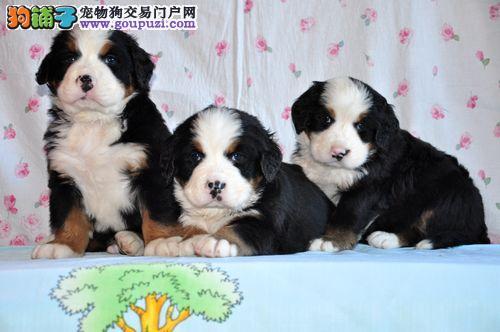 德阳市出售伯恩山犬 多色可选 售后保障 免费饲养指导