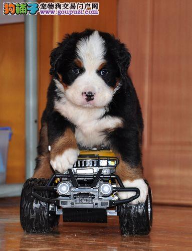 伯恩山南京最大的正规犬舍完美售后微信咨询视频看狗