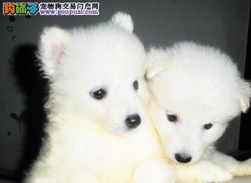 专业繁殖纯种西安银狐犬疫苗齐全狗贩子请绕行